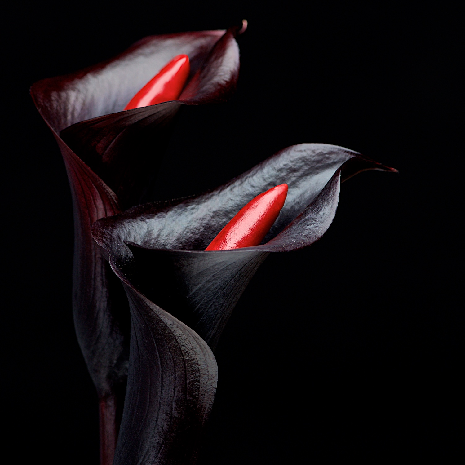 Black Calla Lilies with red chili peppers concept on dark background by Bret Doss Commercial Food & Product Photography  Seattle